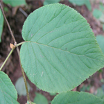 Alternate-Leaf Dogwood Tree