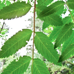 American Mountain-Ash Tree