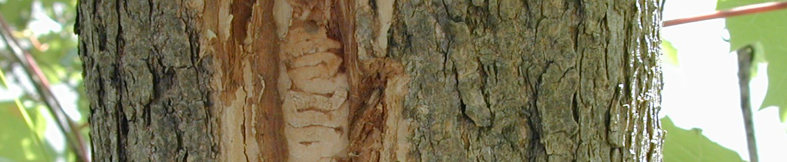 Tree Hazards
